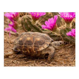 USA, Texas, Hidalgo County. Tortoise Postcard
