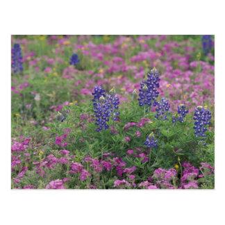 USA, Texas Hill Country. Bluebonnets among phlox Postcard