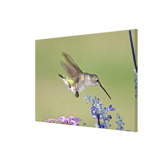 USA, Texas, Hill Country. Female black-chinned Canvas Print