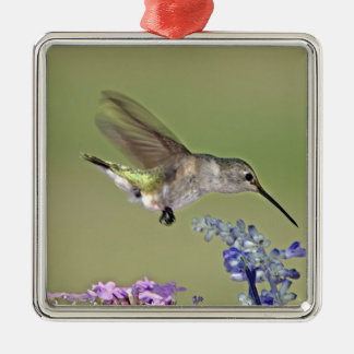 USA, Texas, Hill Country. Female black-chinned Silver-Colored Square Decoration