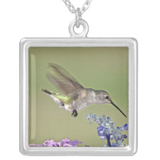 USA, Texas, Hill Country. Female black-chinned Silver Plated Necklace