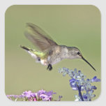 USA, Texas, Hill Country. Female black-chinned Square Stickers