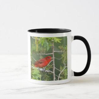 USA, Texas, Hill Country. Male summer tanager Mug