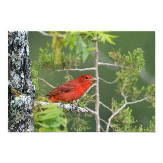USA, Texas, Hill Country. Male summer tanager Photo Print