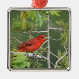 USA, Texas, Hill Country. Male summer tanager Silver-Colored Square Decoration