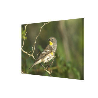 USA, Texas, Hill Country. Male yellow-rumped Canvas Print