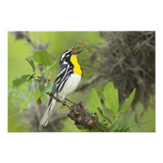 USA, Texas, Hill Country. Male yellow-throated Photo Print