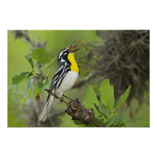 USA, Texas, Hill Country. Male yellow-throated Poster