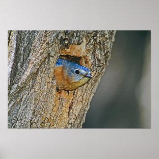 USA, Texas, Lipscomb. Female Eastern bluebird Poster