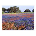 USA, Texas, Llano. Bluebonnets and redbonnets Postcard