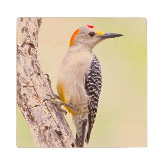 USA, Texas, Mission, Martin-Javelina Ranch. Male Maple Wood Coaster