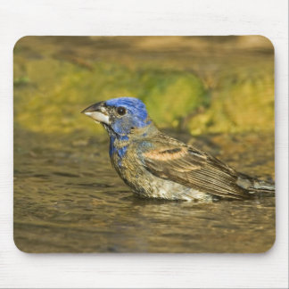 USA, Texas, Rio Grande Valley. Male blue Mouse Pad