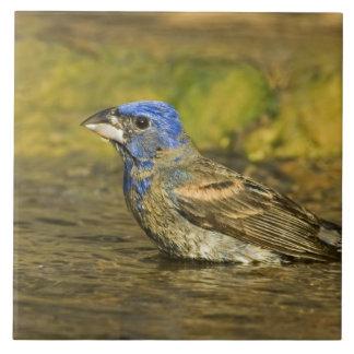 USA, Texas, Rio Grande Valley. Male blue Tile