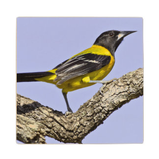 USA, Texas, Santa Clara Ranch. Audubon Oriole Maple Wood Coaster