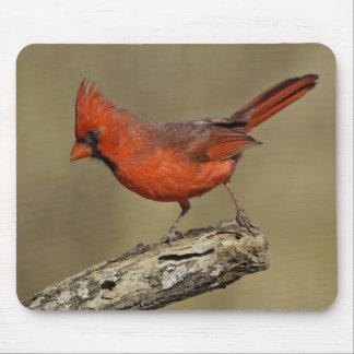 USA, Texas, Santa Clara Ranch. Northern Cardinal Mouse Mat