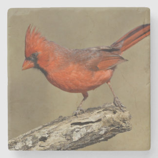 USA, Texas, Santa Clara Ranch. Northern Cardinal Stone Coaster