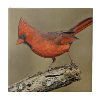 USA, Texas, Santa Clara Ranch. Northern Cardinal Tile