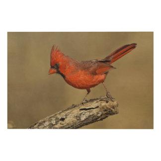 USA, Texas, Santa Clara Ranch. Northern Cardinal Wood Print