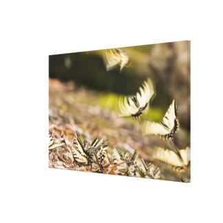 USA, TN, Tellico. Swallowtail butterflies Canvas Print