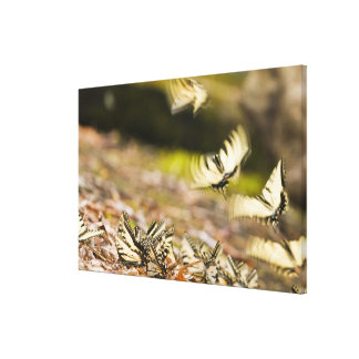 USA, TN, Tellico. Swallowtail butterflies Gallery Wrapped Canvas