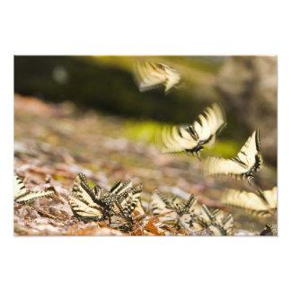 USA, TN, Tellico. Swallowtail butterflies Photographic Print