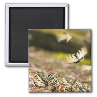 USA, TN, Tellico. Swallowtail butterflies Square Magnet