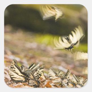 USA, TN, Tellico. Swallowtail butterflies Stickers
