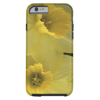 USA, Utah, Cache Valley Daffodils Tough iPhone 6 Case