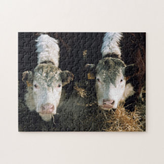 USA, Utah, Cache Valley, Hereford Steers Jigsaw Puzzle