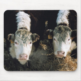 USA, Utah, Cache Valley, Hereford Steers Mouse Pad