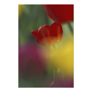 USA, Utah, Cache Valley Tulips in a garden Photo Art