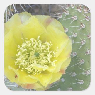 USA, Utah, Canyonlands, NP, Desert Prickly Pear Square Sticker