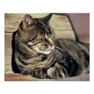 USA, Utah, Capitol Reef NP. Sleeping tabby cat Poster