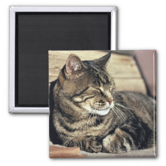 USA, Utah, Capitol Reef NP. Sleeping tabby cat Square Magnet