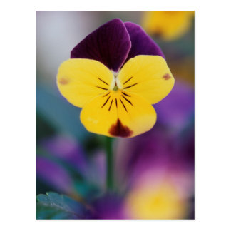 USA, Utah, Close-Up of Viola tricolor in garden Postcard