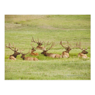 USA, Utah, Group of bull Elk (Cervus canadensis) Postcard