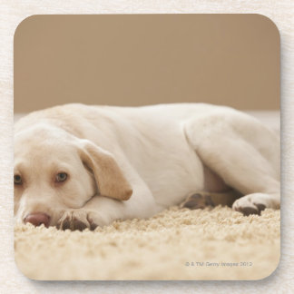 USA, Utah, Lehi, Portrait of Yellow Labrador Coaster
