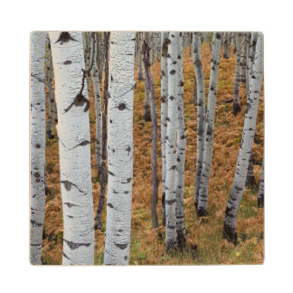 USA, Utah, Uinta-Wasatch-Cache National Forest 2 Maple Wood Coaster
