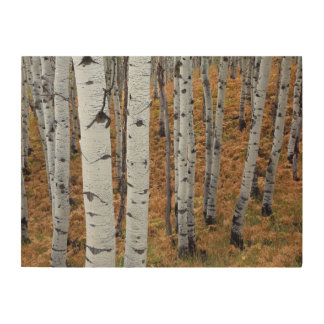 USA, Utah, Uinta-Wasatch-Cache National Forest 2 Wood Canvas