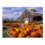 USA, Vermont, Shelbourne, Pumpkins Postcard