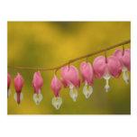 USA, Virginia, Arlington, closeup of pink Postcard