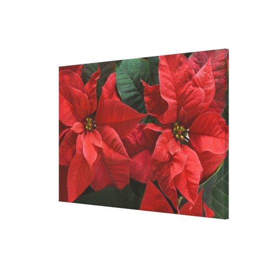 USA, WA, Red Poinsettia Detail (Euphorbia Canvas Print