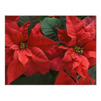 USA, WA, Red Poinsettia Detail (Euphorbia Postcard
