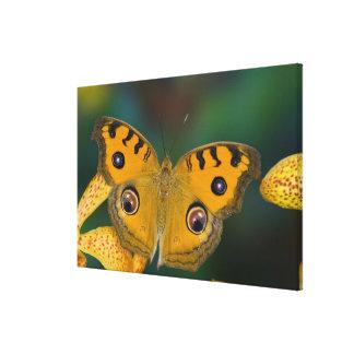 USA, WA, Sammamish, Tropical Butterfy Canvas Print