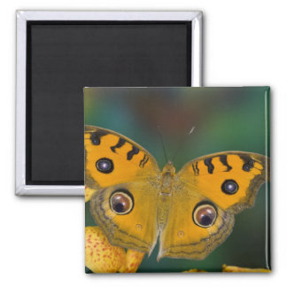 USA, WA, Sammamish, Tropical Butterfy Square Magnet