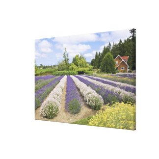 USA, WA, Sequim, Purple Haze Lavender Farm Canvas Print
