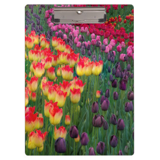 USA, Washington. Blooming Tulips 2 Clipboard