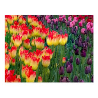 USA, Washington. Blooming Tulips 2 Postcard