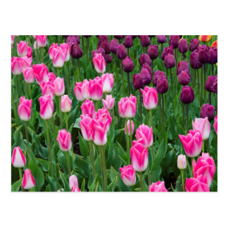 USA, Washington. Blooming Tulips Post Cards