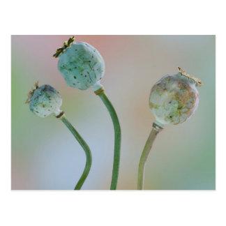 USA, Washington. Close-Up Of Colorful Poppy Seed Postcard